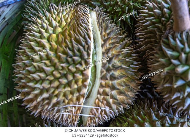 Over ripened durians start to open at Selakau, West Kalimantan, Indonesia