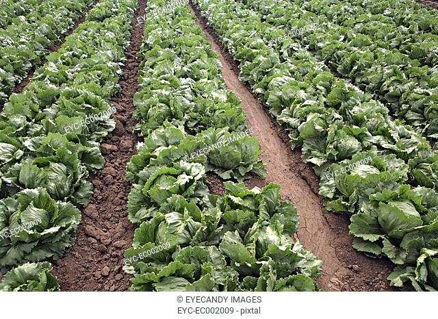 View of a crop of lettuce