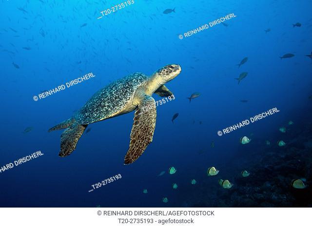 Green Sea Turtle, Chelonia mydas, Arch, Darwin Island, Galapagos, Ecuador