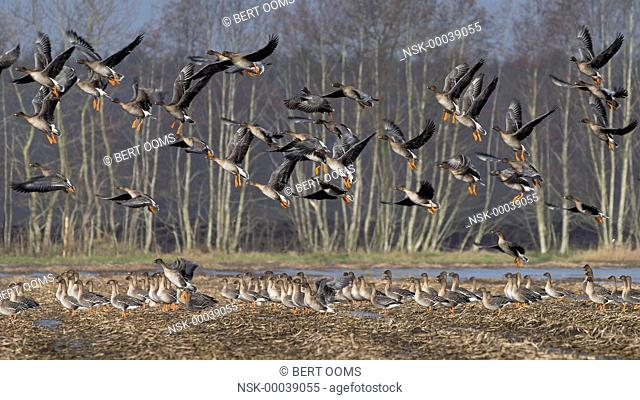 Tundra Bean Goose (Anser serrirostris) part of a flock taking off from a stubble field, others remain on ground, Germany, Niedersachsen