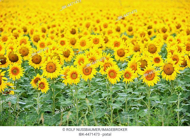 Common Sunflowers (Helianthus annuus), field in bloom, Texas, USA