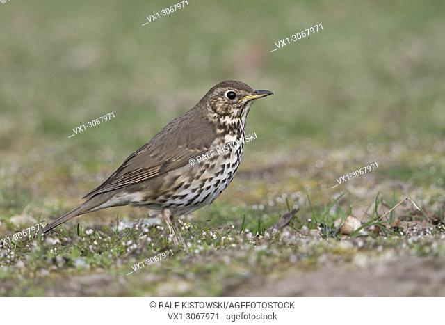 Song Thrush ( Turdus philomelos ), during spring migration, sitting on the ground, searching for food, attentive, unobtrusive, wildlife, Europe