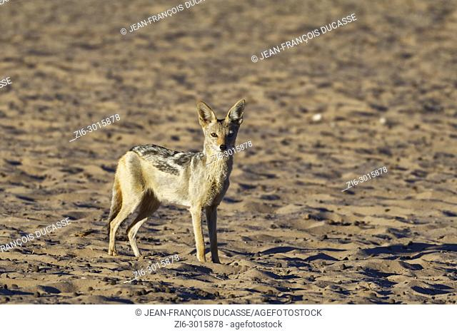 Black-backed jackal (Canis mesomelas), standing alert, evening light, Kgalagadi Transfrontier Park, Northern Cape, South Africa, Africa