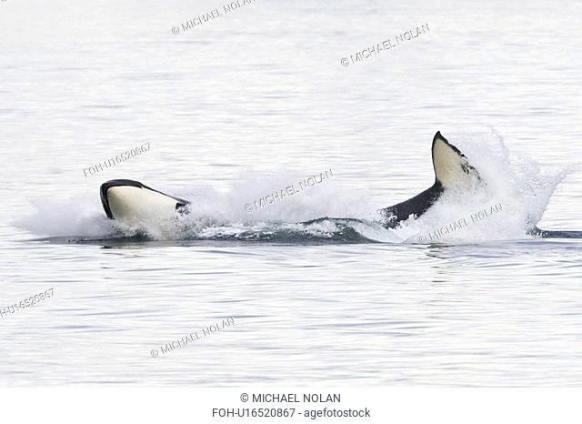 A gathering of several Orca Orcinus orca pods in Chatham Strait, Southeast Alaska, USA. Pacific Ocean. These animals numbered in the many tens