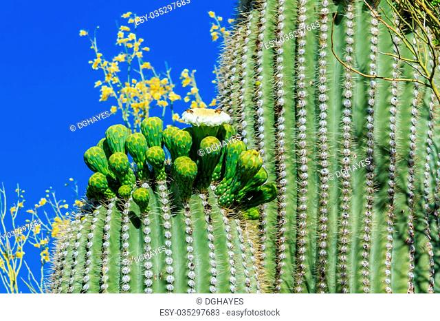 Bees gathering nectar from the delicate white and yellow springtime blossoms on the arm of a giant saguaro cactus in Arizona's Sonoran desert