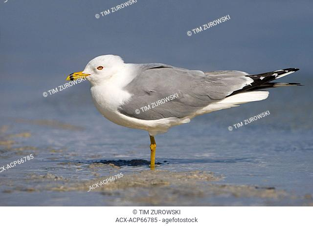 Ring-billed Gull (Larus delawarensis) - Fort Desoto Beach, Florida