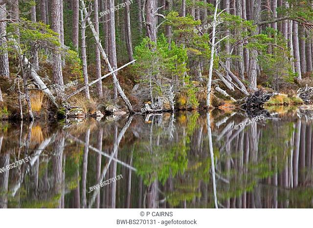 forest picturesquely reflected in Loch Mallachie, United Kingdom, Scotland
