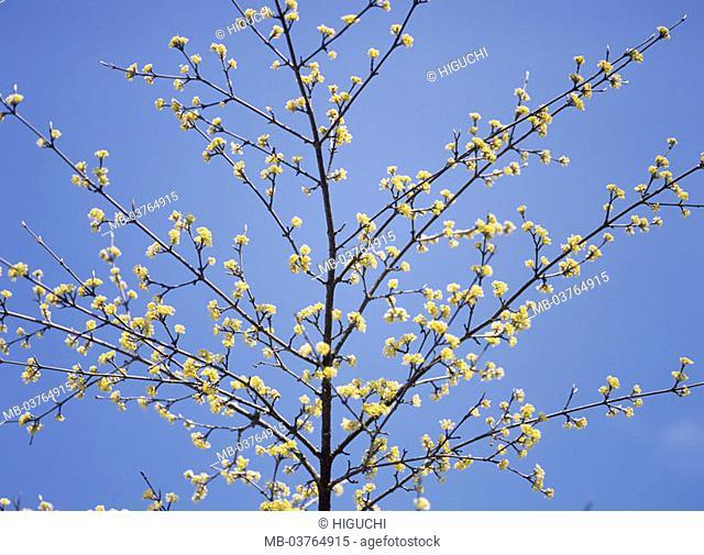 Privets, detail, branches, blooms, yellow   Plant, nature, botany, flora, privet plants, Cornaceae, dogwood, Cornus, tree, branches, prime, season, spring
