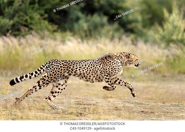 Cheetah Acinonyx jubatus - Playful female  Harnas Wildlife Foundation, Namibia