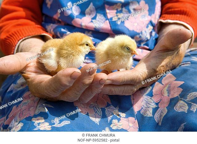 Old peasant woman holding chicken in her wrinkled hands
