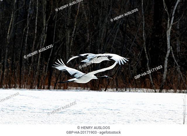 Japanese crane, Red-crowned crane (Grus japonensis), Flying, Japan