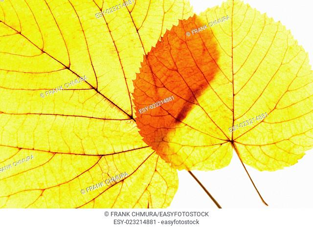 Closeup of Autumn Leafs - Isolated on White