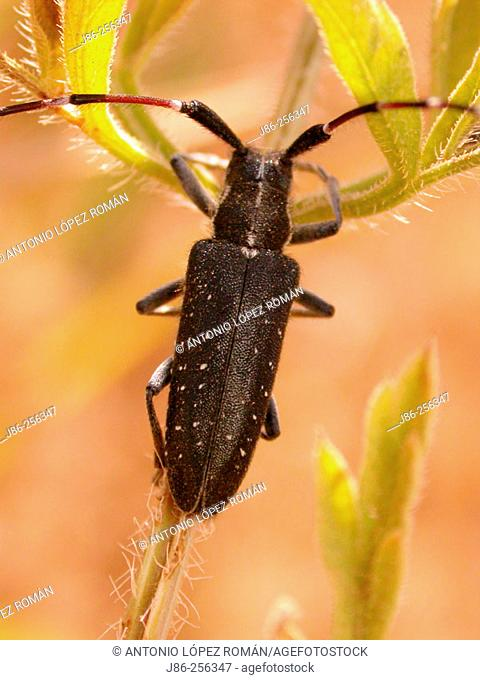 Longhorn beetle (fam. Cerambycidae)