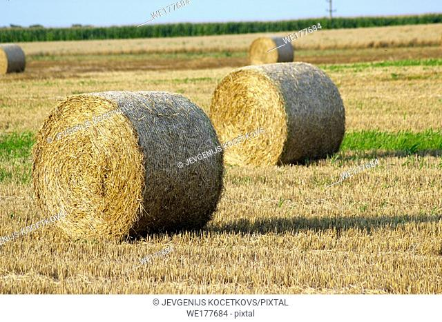 Hay rolls on wheat field in late summer. Agriculture