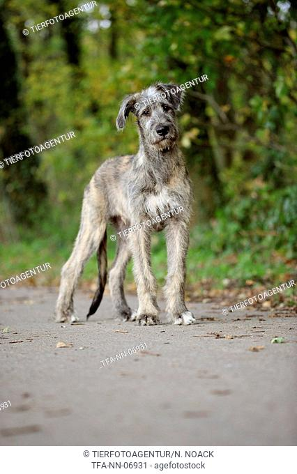 young Irish Wolfhound