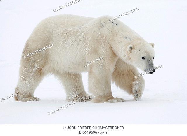Polar Bear (Ursus maritimus) walking through the snow, Churchill, Manitoba, Canada