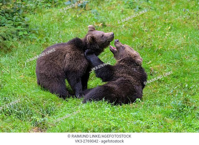 Brown Bear, Ursus arctos, Two cubs fighting, Bavaria, Germany