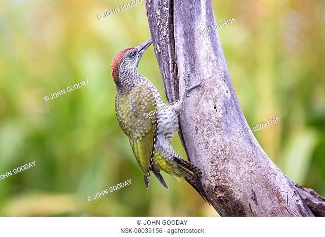 Juvenile European Green Woodpecker (Picus viridis) feeding on a tree, Hungary, Bekes, Koros-Maros National Park