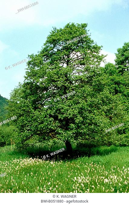common alder, black alder, European alder (Alnus glutinosa), single tree in a meadow, Germany