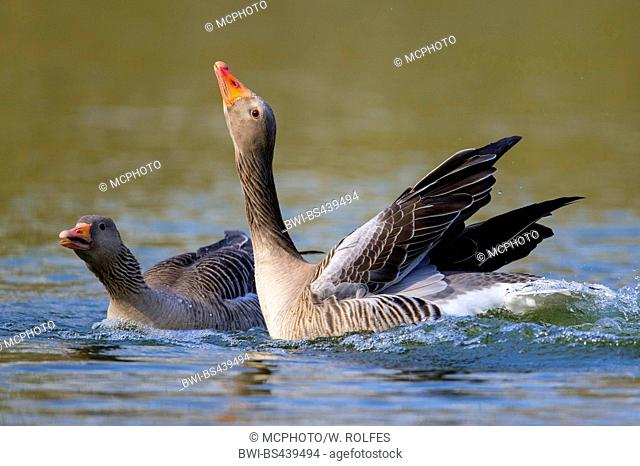 greylag goose (Anser anser), display behaviour on the lake, Germany, Lower Saxony