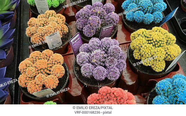 Coloured cactuses. Cambrils, Tarragona, Catalonia, Spain