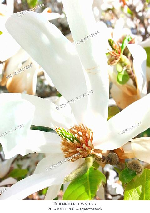 White blooms on a Leonard Messel Magnolia tree. Loebner Magnolia