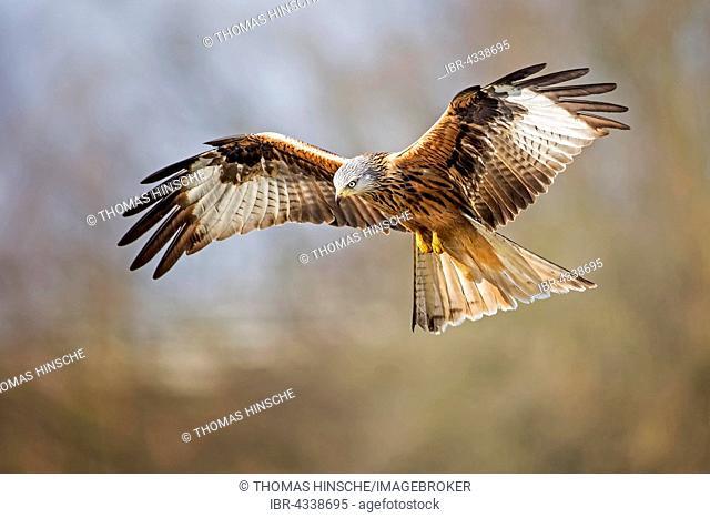 Red Kite (Milvus milvus) in flight, Middle Elbe Biosphere Reserve, Saxony-Anhalt, Germany