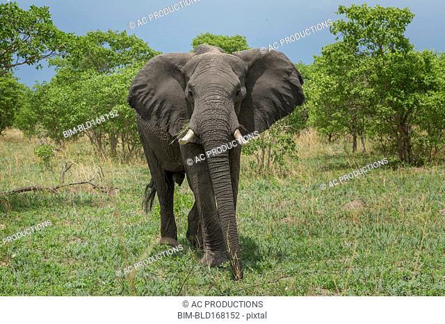 Elephant walking in field