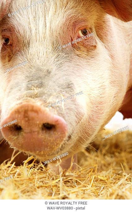 Close-up of hog