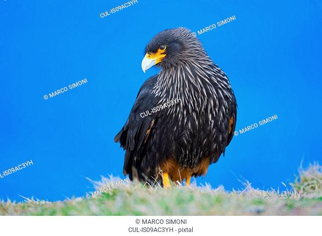 Striated Caracara (Phalcoboenus australis), Falkland Islands