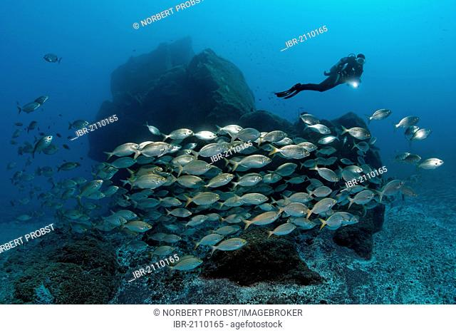 Scuba diver watching school of Cowbreams (Sarpa salpa) in front of rocky reef, Madeira, Portugal, Europe, Atlantic