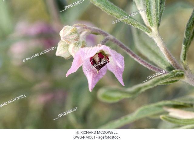 WESTERN AUSTRALIAN NATIVE GUICHENOTIA GENERA WILD FLOWER