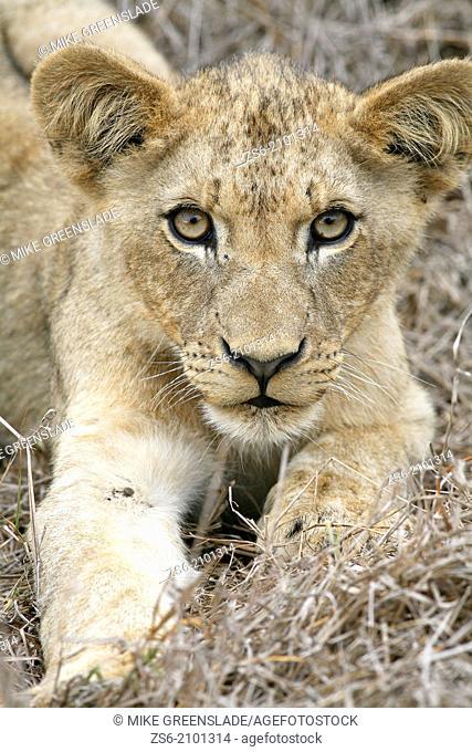 Lion cub (Panthera leo), Hlane Royal National Park, Swaziland, Africa