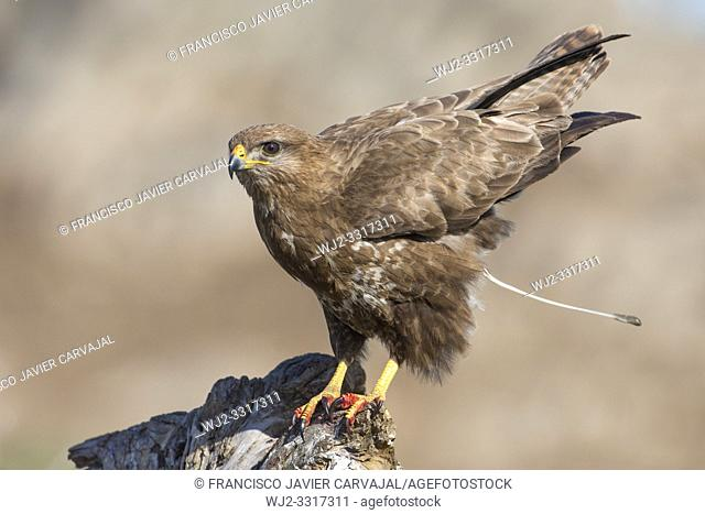 Common buzzard (Buteo buteo) defecating on a trunk in Extremadura, Spain