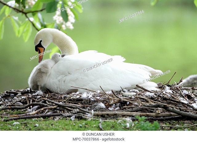 Mute Swan (Cygnus olor) on nest with cygnet climbing up, Lower Saxony, Germany