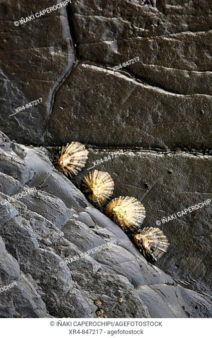 Limpets on 'flysch' at Punta Mendata, Deva, Guipuzcoa (Gipuzkoa), Basque Country, Spain