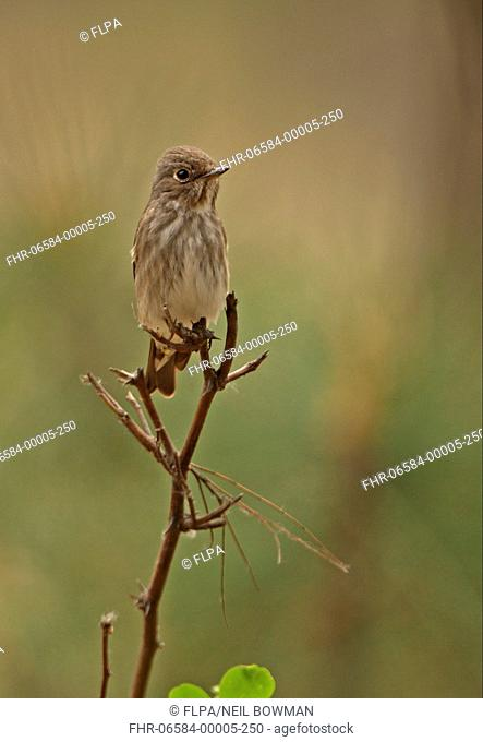Dark-sided Flycatcher Muscicapa sibirica adult, perched on twig, Hebei, China, may