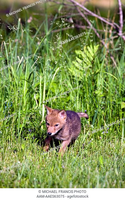 Coyote (Canis latrans), young pup during spring Sandstone Minnesota, captive