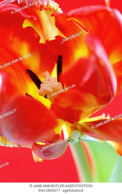red parrot tulip stem close up of perianth, stigma and anthers - nurture