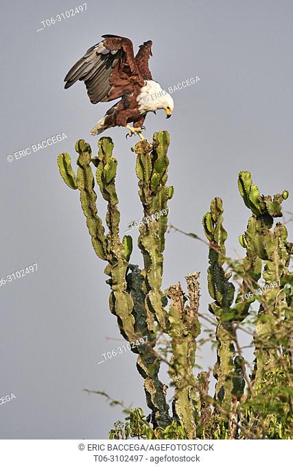 African fish eagle (Haliaeetus vocifer) perched on cactus, Queen Elizabeth National Park, Uganda, Africa