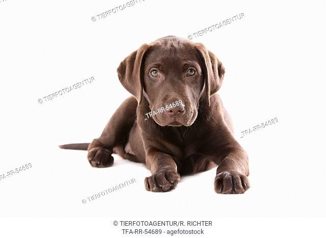 lying Labrador puppy