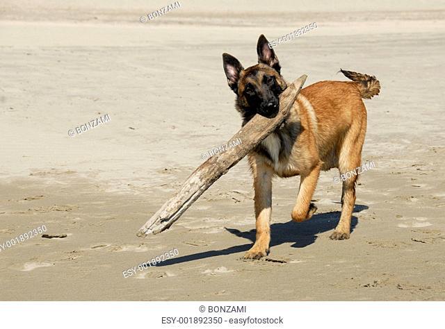 playing sheepdog