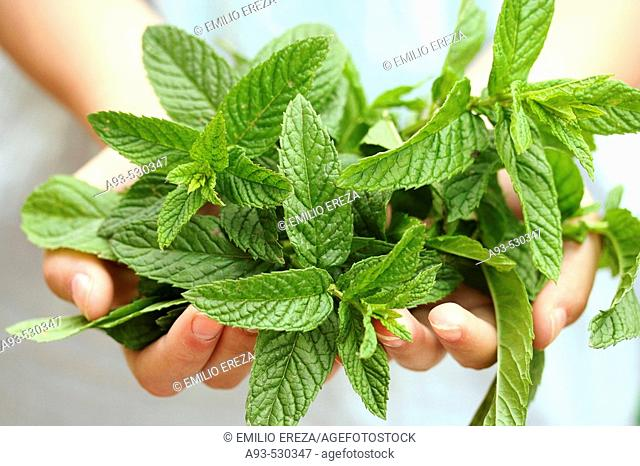 Peppermint (Mentha sp.)