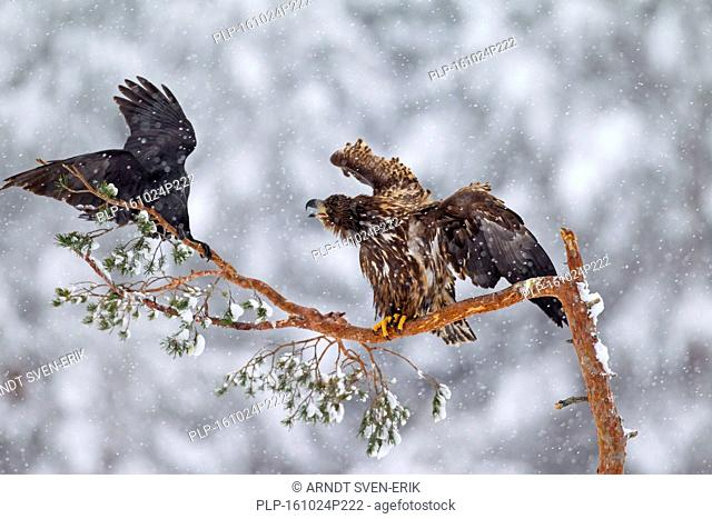 White-tailed eagle / Sea eagle / Erne (Haliaeetus albicilla) juvenile chasing away common raven (Corvus corax) perched in tree during snowfall in winter