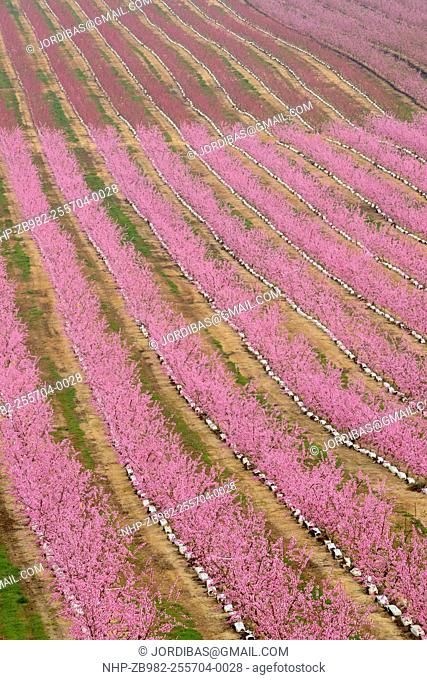 Peach trees flowering. Lleida, Catalonia. Spain