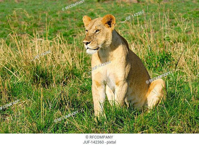 lioness - sitting on meadow / Panthera leo