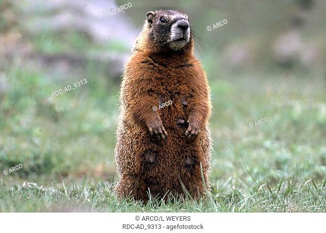 Yellow-bellied Marmot female Yellowstone national park Wyoming USA Marmota caligata