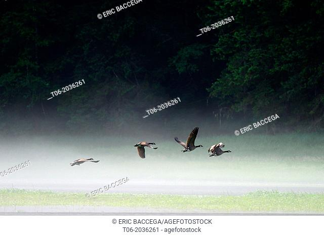 Canada geese (Branta canadensis) flying over the water of the estuary in the morning mist, Khutzeymateen Grizzly Bear Sanctuary, British Columbia, Canada