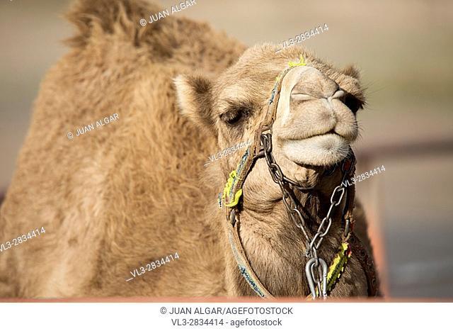 The big yellow camel