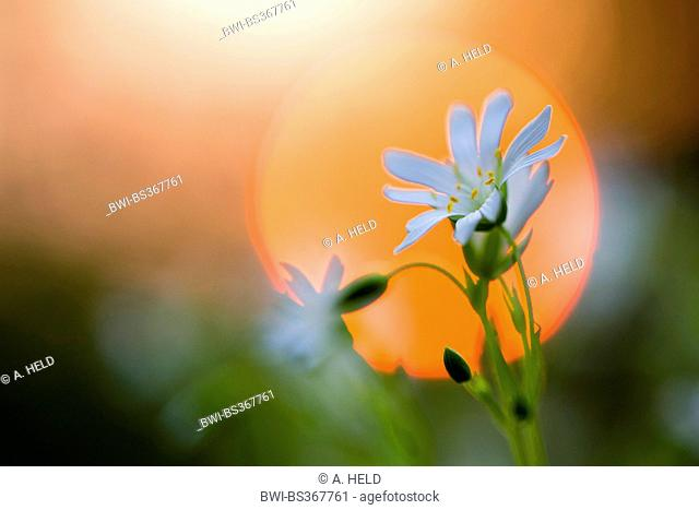 easterbell starwort, greater stitchwort (Stellaria holostea), impression in front of setting sun, Germany, Baden-Wuerttemberg
